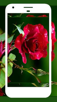 Download Rose Wallpapers 2.4 APK File for Android