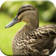 Duck Sounds APK