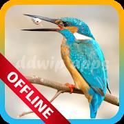 Suara Burung Pemikat Terlengkap Offline APK