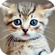 Kitten Wallpapers APK