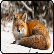 Fox Wallpaper APK