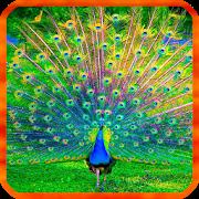 Peacocks Live Wallpapers APK