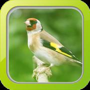 Masteran Burung Goldfinch APK