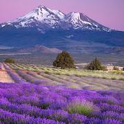 live wallpaper lavender APK