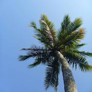 Palm tree Wallpapers APK