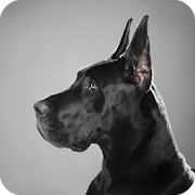 Doberman Pack 2 Wallpaper APK