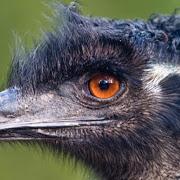Cute Emu Wallpapers HD FREE APK