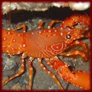 Lobsters wallpapers APK