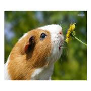 Guinea Pig Communicator APK