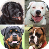 Dogs Quiz - Guess Popular Dog Breeds on the Photos