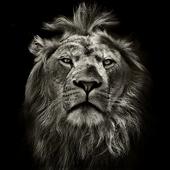 Lion King CM Locker Cool Theme APK 1.1.5