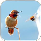 Hummingbird Wallpapers  Latest Version Download