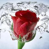 Rose Wallpaper, Floral, Flower Background: Rosely  APK 5.2