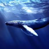 Blue Whale Revange